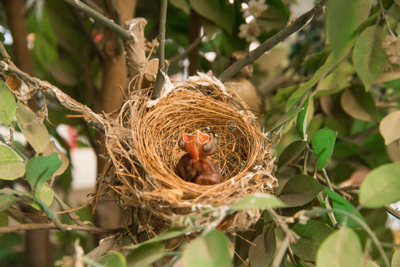 L'oiseau nouveau-né, l'oisillon dans le nid et la plume s'envole le stor de croissance image stock