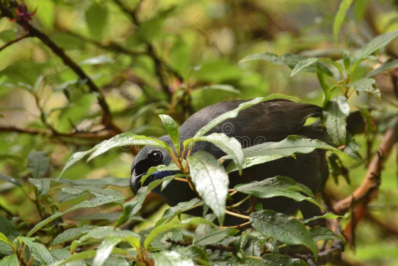 L'oiseau Nouvelle-Zélande de Kokako sont de façon précieuse animal image stock