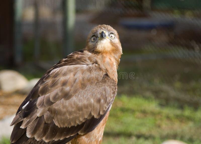 L'oiseau prédateur en parc national de montagne de Tableau à Cape Town image libre de droits