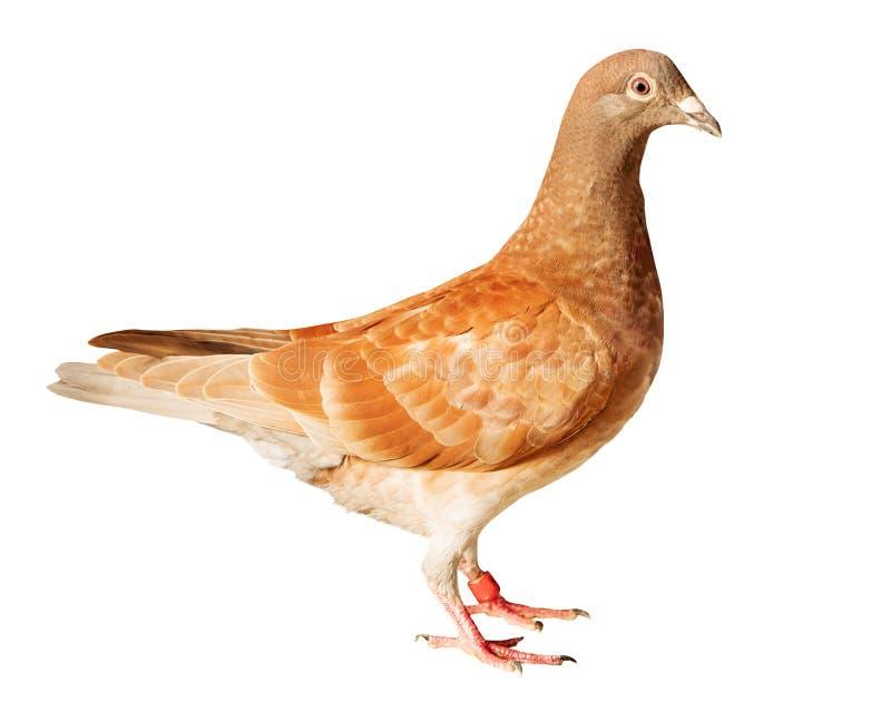 L'oiseau rouge de pigeon voyageur de plume de chocko a isolé le fond blanc photographie stock libre de droits