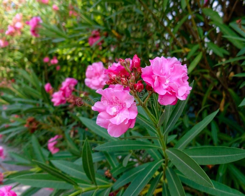 L'oléandre rose vibrant fleurit le plan rapproché photographie stock libre de droits