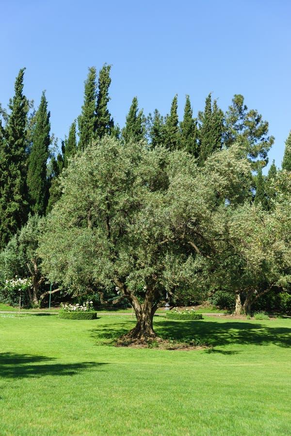 L'oliva europea, o europeo o, culturale di Oliva dell'oliva, o di olivo è un albero sempreverde; specie di olea di olivo verde ol immagine stock