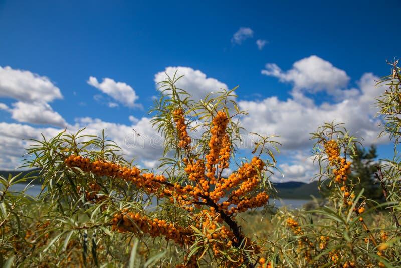 L'olivello spinoso si ramifica con il cielo ed il lago della nuvola nel fondo nel parco nazionale della natura di Burabai, il Kaz fotografia stock libera da diritti