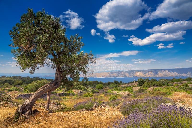 L'olivier parmi le gisement de lavande sur l'île de Hvar images libres de droits