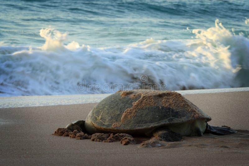 L'Oman: Tartaruga verde