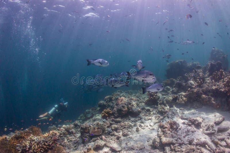 L'operatore subacqueo di scuba cattura la foto per il banco dello snapper fotografia stock libera da diritti
