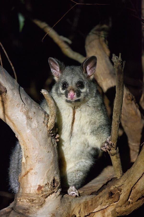 L'opossum brosse-coupé la queue en Australie regardant avec l'intérêt pendant la nuit de l'arbre images libres de droits