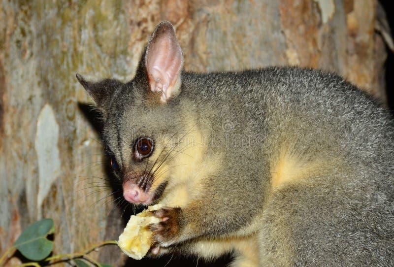 l'opossum Brosse-coupé la queue mange une banane image stock