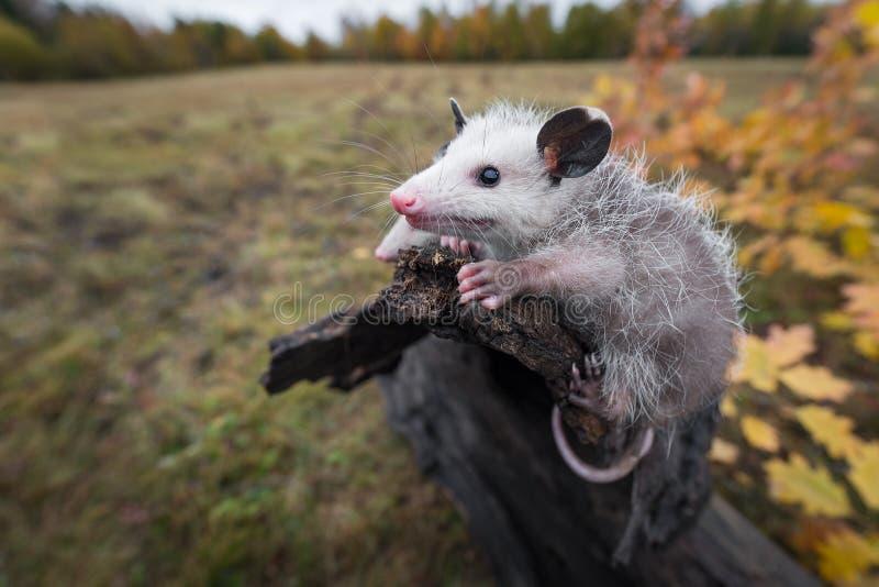 L'opossum Joeys Didelphimorphia s'accrochent pour finir du rondin image stock