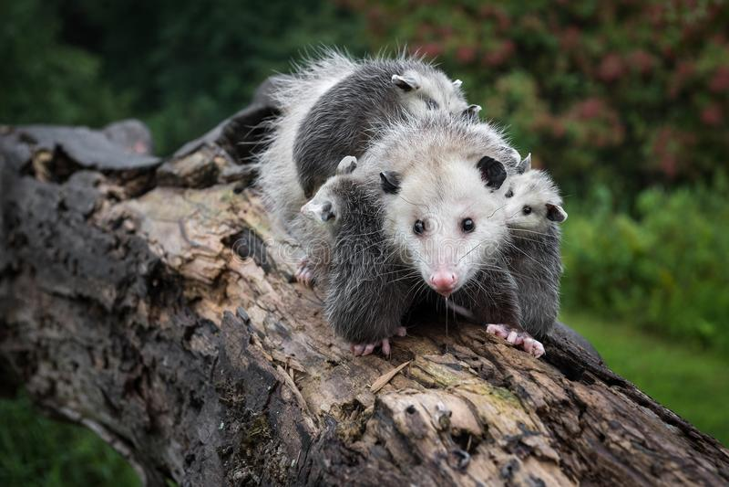 L'opossum radotant Didelphimorphia porte son Joeys à travers le rondin images libres de droits
