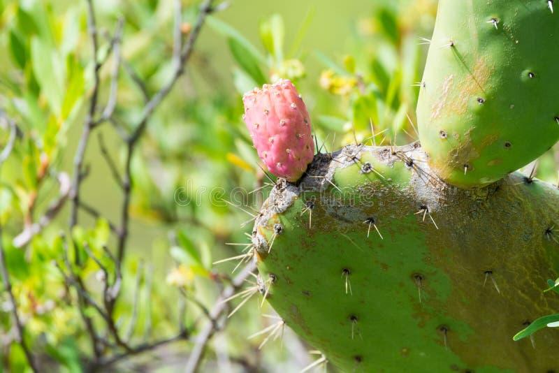 L'opuntia ficus indica selvaggio del cactus dei cespugli (sabra) si è acceso dal sole immagine stock