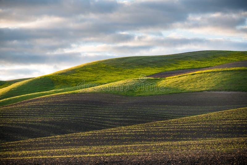 L'ora dorata del tramonto illumina una scena idilliaca delle file dei raccolti verdi di recente germogliati e di una collina erbo immagine stock libera da diritti