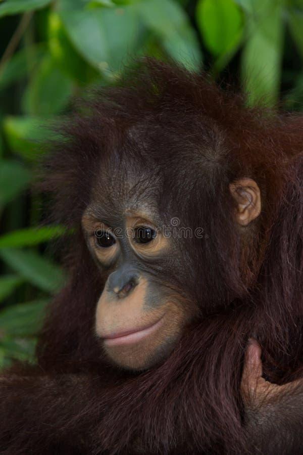 L'orang-outan image libre de droits