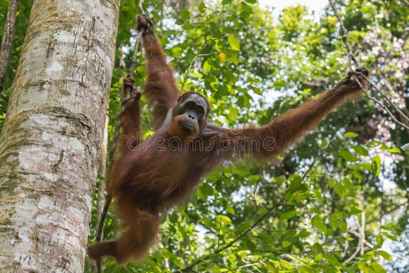 L'orang-outan adulte se déplace de la branche à la branche et au x28 ; Sumatra, Indonesia& x29 ; photographie stock