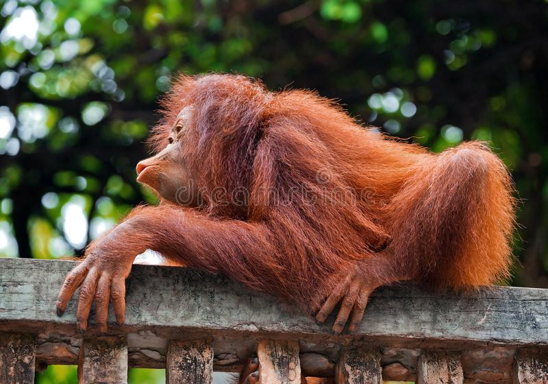 L'orang-outan de bébé joue dans la nature image stock