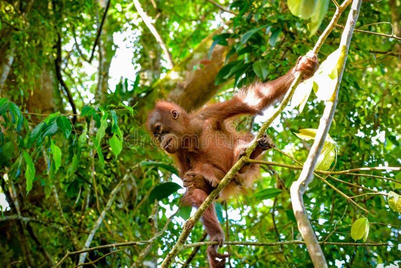 L'orang-outan de bébé saute d'une branche Sumatra, Indonésie photo libre de droits