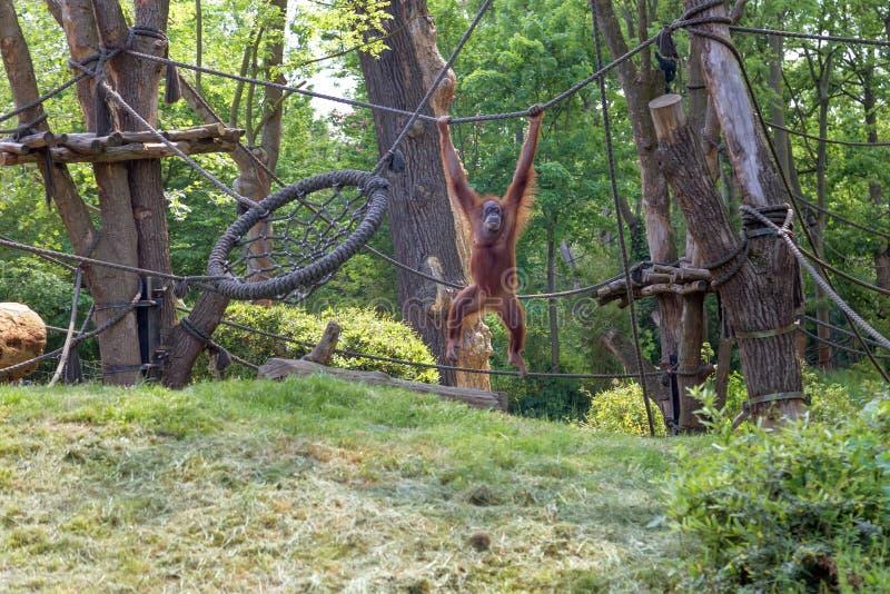 L'orang-outan roux est joué images stock