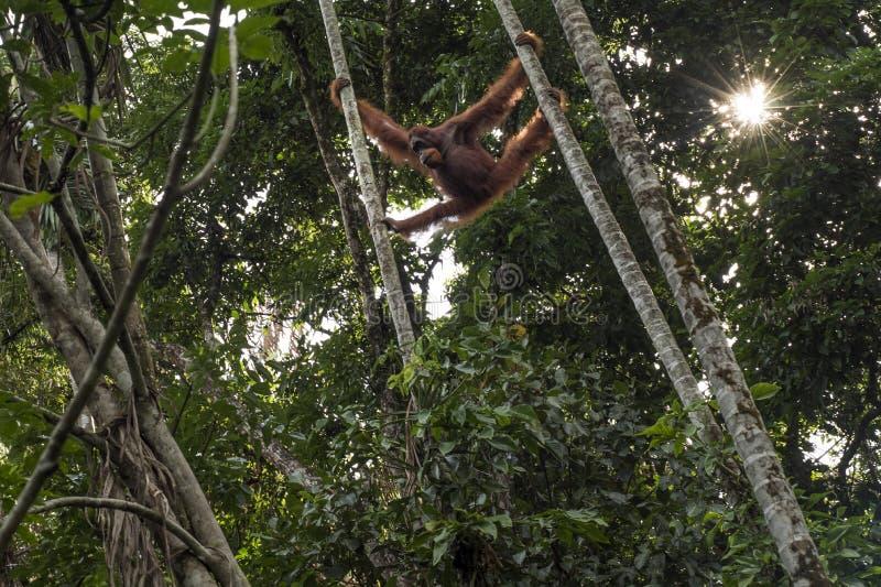 L'orang-outan sauvage est vu de la participation au sol entre deux arbres dans la jungle images stock