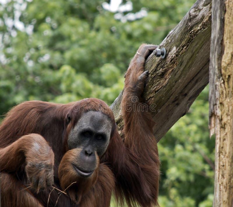 L'orang-outan se repose image libre de droits