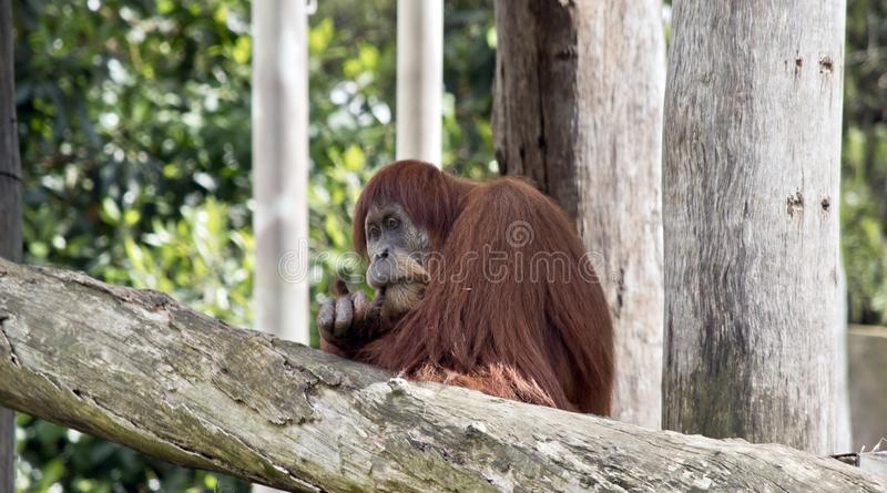 L'orang-outan se repose photos libres de droits