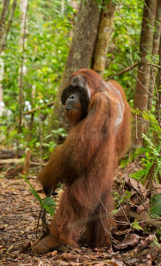 L'orang-outan se tient sur ses jambes de derrière dans la jungle l'indonésie L'île de Kalimantan Bornéo photographie stock