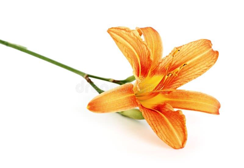L'orange a daylily isolé image stock