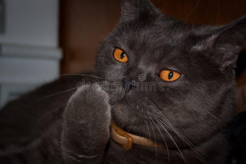 L'orange a observé le chat britannique photos stock