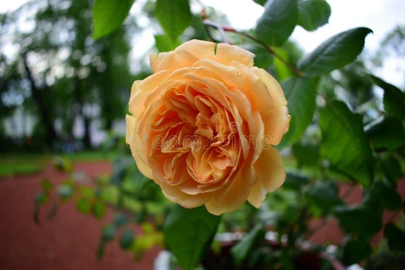 L'orange s'est levée s'élevant en parc de ville photos stock