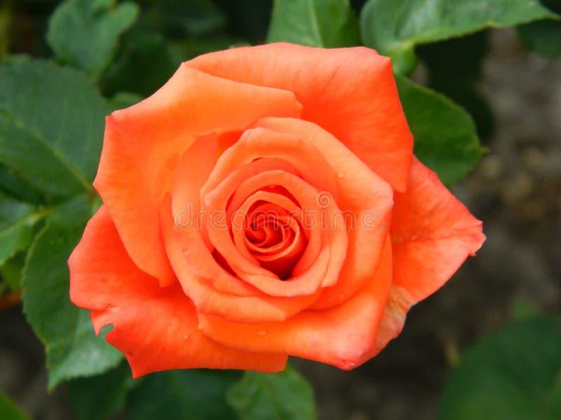 L'orange s'est levée du jardin photo libre de droits