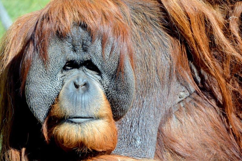 L'orangutan fotografie stock