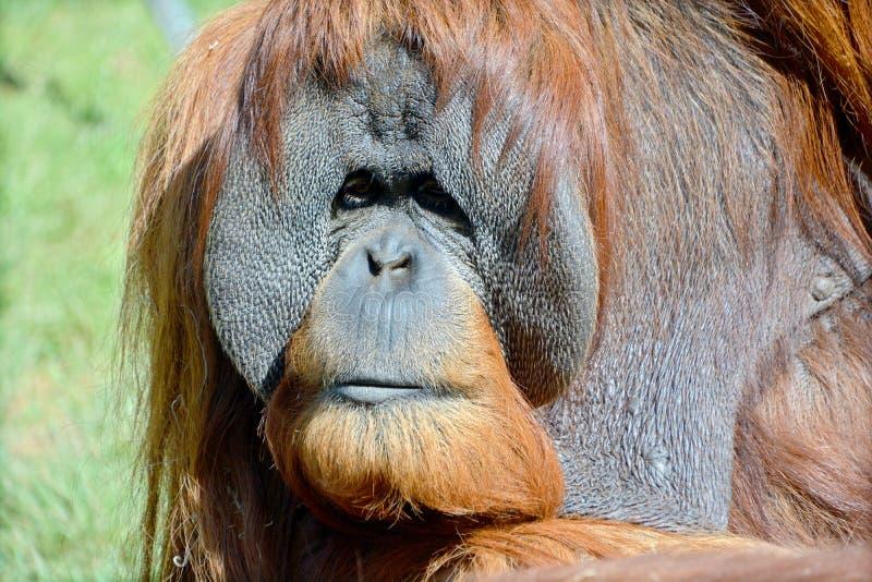 L'orangutan fotografie stock libere da diritti