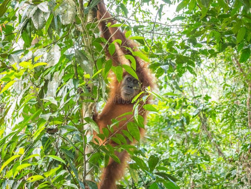 L'orangutan in Bukit Lawang scende dall'albero immagine stock libera da diritti