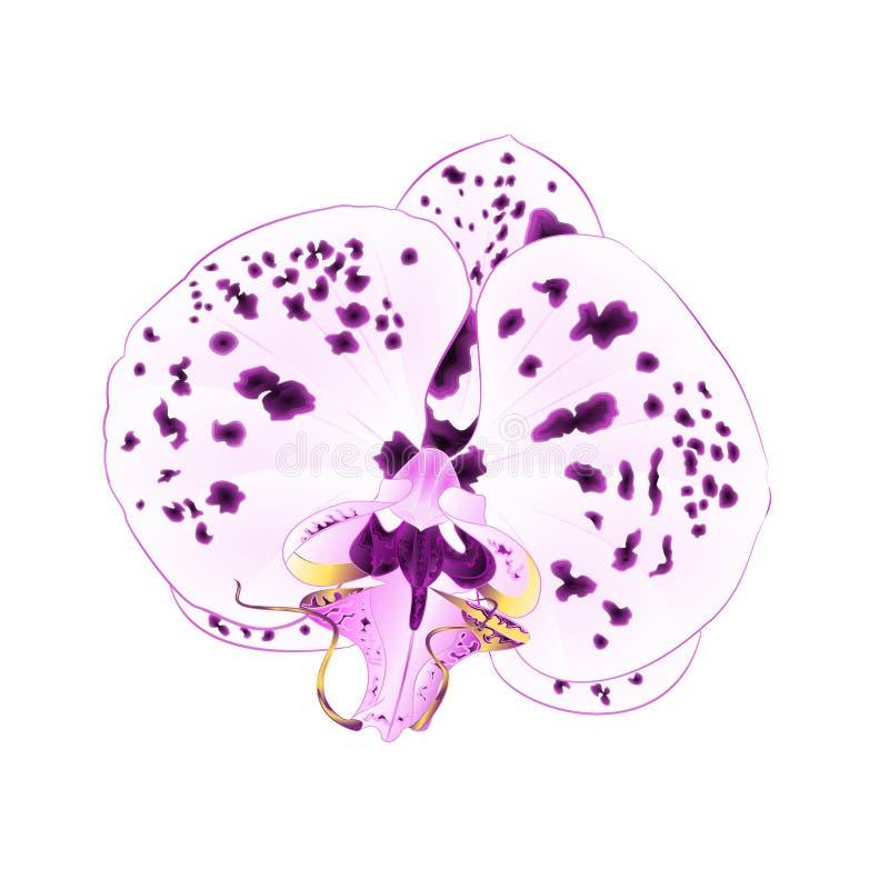 L'orchidée avec la fleur pourpre et blanche de Phalaenopsis de plan rapproché de points belle a isolé l'editabl d'illustration de illustration libre de droits