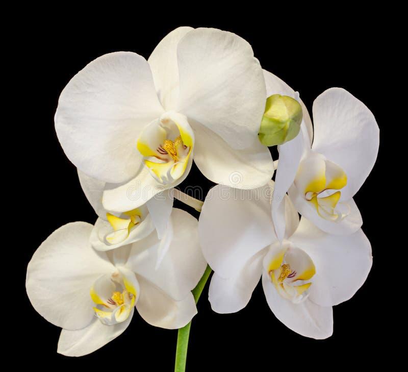 L'orchidée blanche de branche fleurit avec des bourgeons, Orchidaceae, Phalaenopsis connu sous le nom d'orchidée de mite images libres de droits