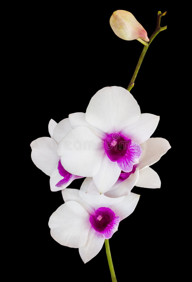 L'orchidée blanche et violette d'isolement fleurit le groupe sur le backgrou noir image libre de droits