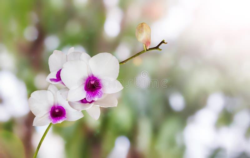 L'orchidée blanche et violette fleurit le groupe sur le bokeh de vert de nature et photo libre de droits