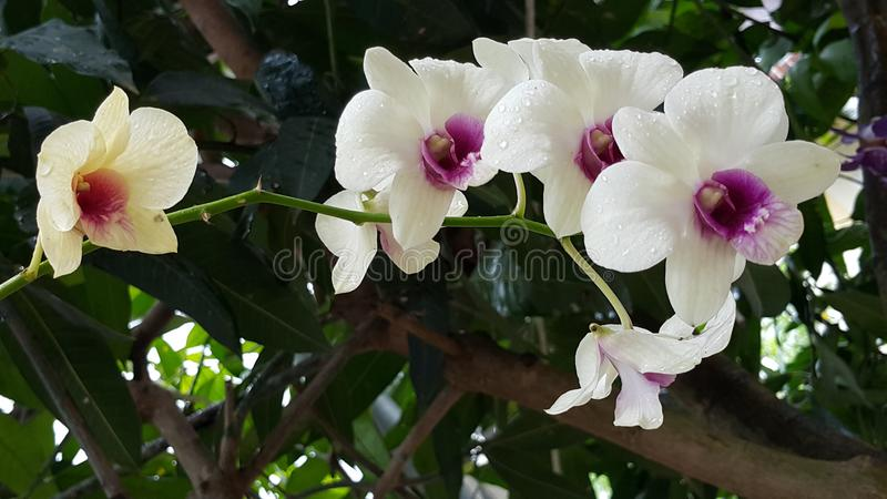 L'orchidée blanche fleurit des usines images libres de droits