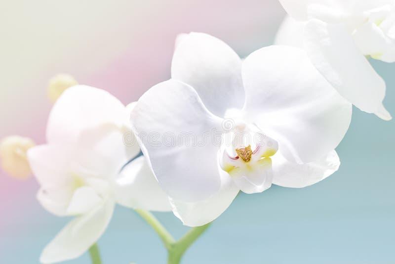 Download L'orchidée Blanche Sensible, Orchidée Fleurit La Branche Image stock - Image du floral, jardin: 77162593