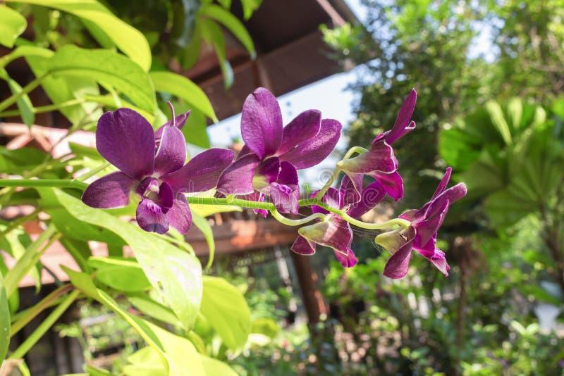 L'orchidée pourpre fleurit le naturel dans le jardin photographie stock