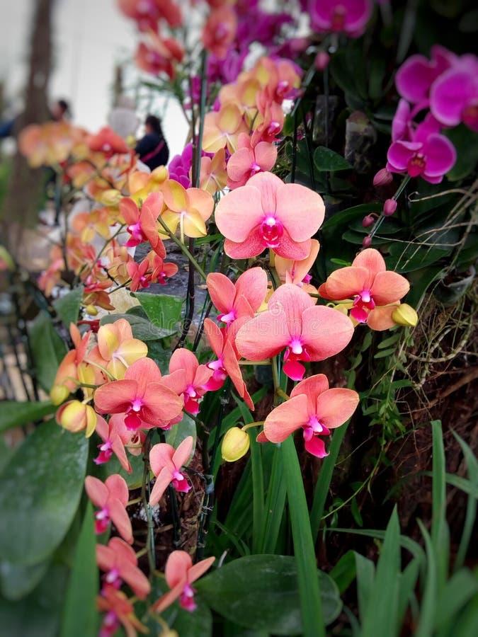 L'orchidée rouge et rose est des fleurs image stock