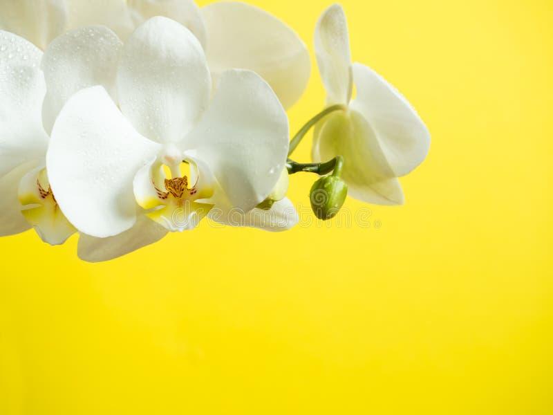 L'orchidea bianca fiorisce sullo spazio colorato della copia di giallo del fondo fotografie stock libere da diritti