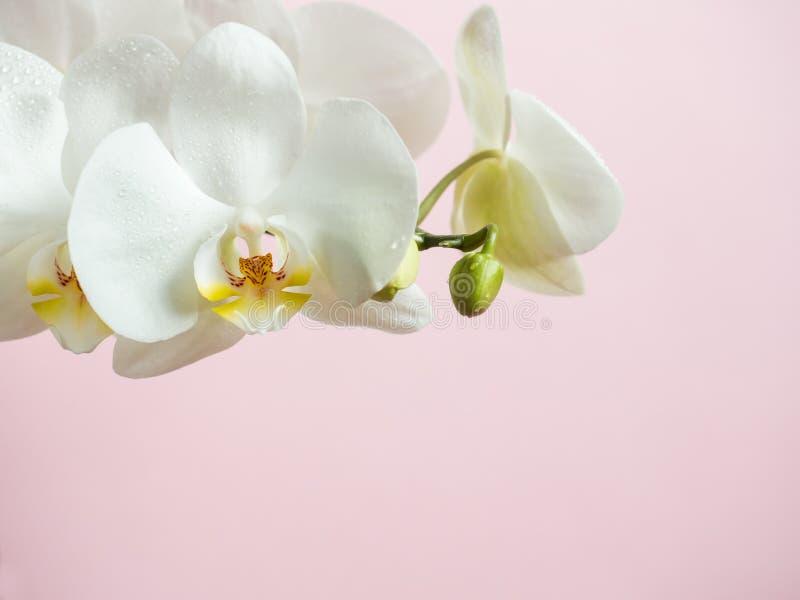 L'orchidea bianca fiorisce sullo spazio colorato della copia di rosa del fondo fotografia stock libera da diritti