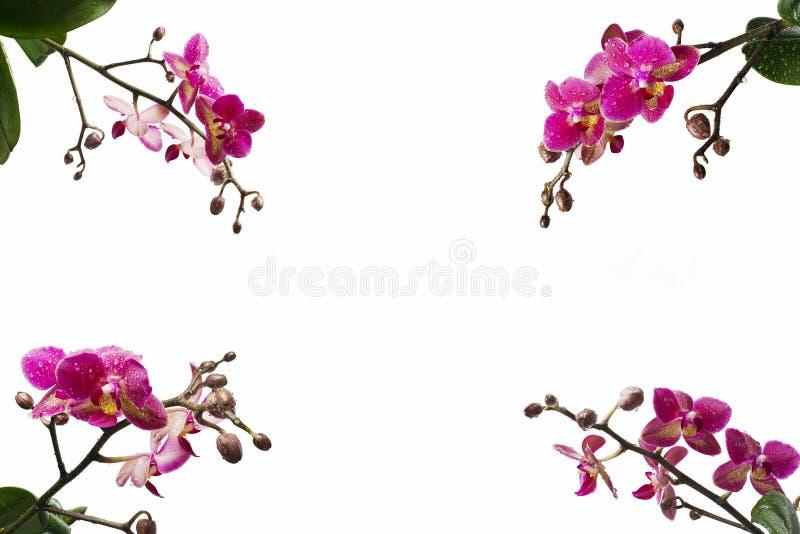 L'orchidea fiorisce negli angoli della foto fotografie stock libere da diritti
