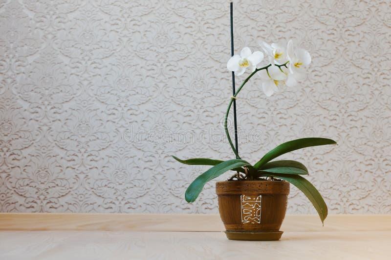 L'orchidea fiorisce in vaso al pavimento contro le carte da parati del fondo fotografie stock