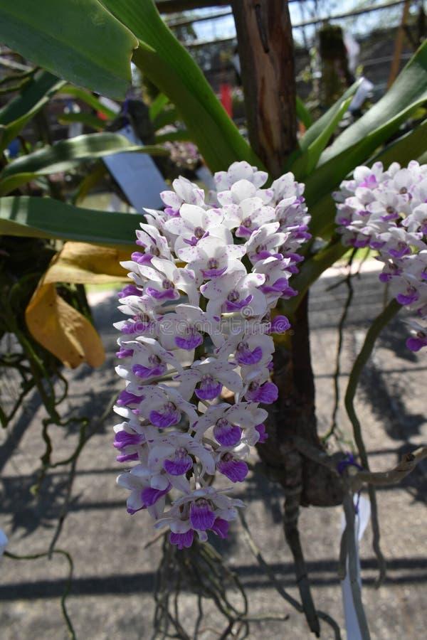 L'orchidea rara dell'asiatico di specie fotografie stock