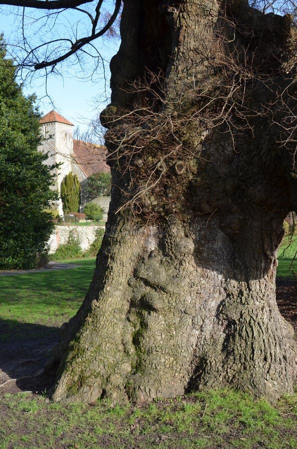 L'orme anglais le plus ancien en Europe photo libre de droits