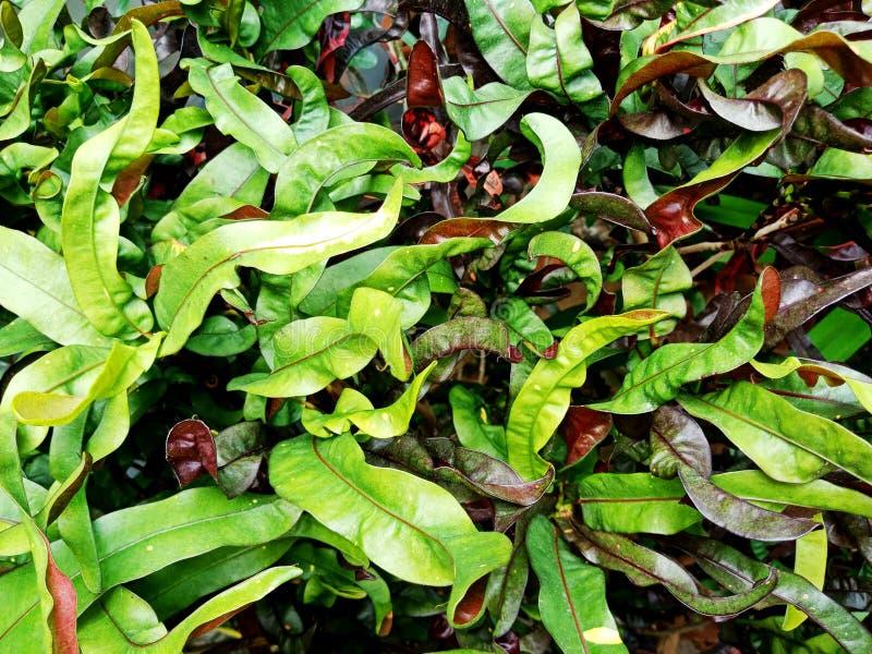 L'ornamentale variopinto lascia la pianta nei precedenti di luce solare fotografia stock libera da diritti