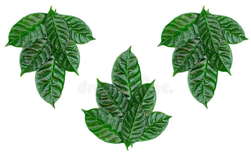 L'ornamento dello sfondo naturale del manifesto delle foglie verdi su bianco ha isolato il fondo immagine stock libera da diritti