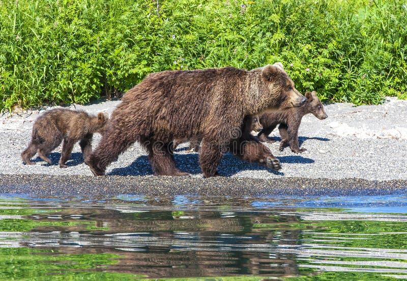 L'orso con tre cuccioli sul lago con la riflessione fotografia stock libera da diritti