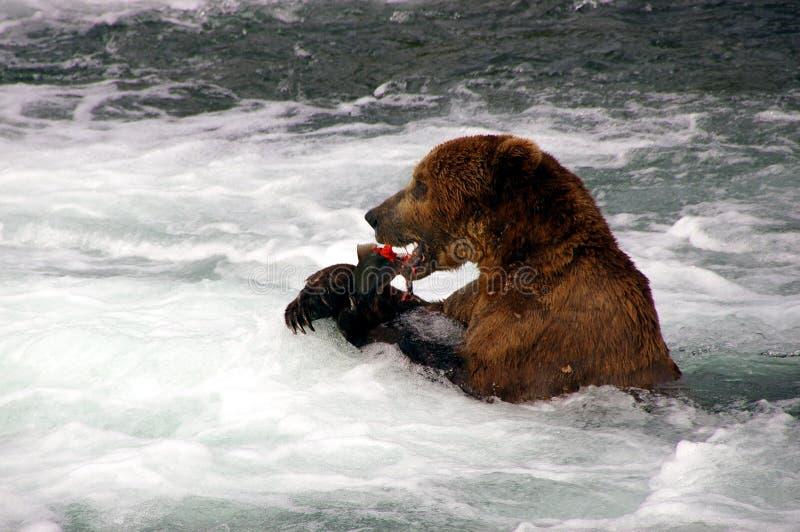 L'orso dell'orso grigio mangia i salmoni immagini stock
